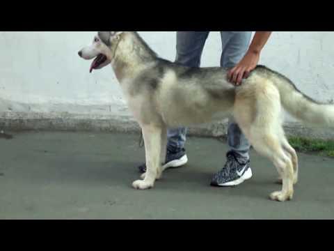 Siberian Husky Dog Show Training 2