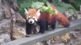 В Белфасте сбежавшую красную панду вернули в зоопарк.Редкие животные.Красная панда.Малая панда.