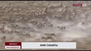 Батыс Қазақстан облысындағы киік саны 135 мыңға жетті