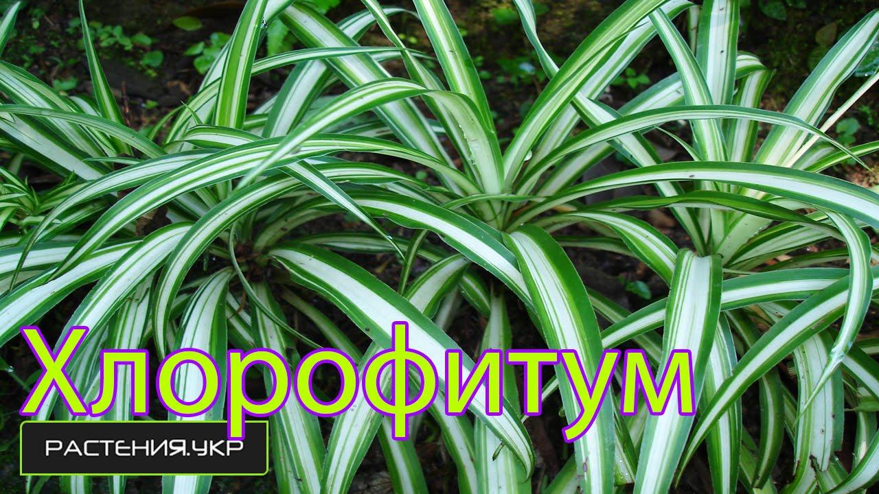 хлорофитум фото как цветет