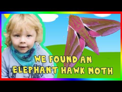 WE FOUND AN ELEPHANT HAWK MOTH / moth trap / moths for kids    MOTHS