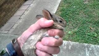 A Wild caught Baby Bunny