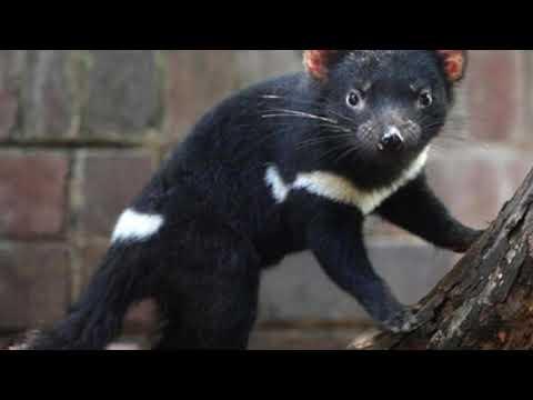 Tasmanian Devil | One Of Australia's Endangered Animals |