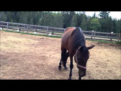 Crazy pitbull attacks a horse