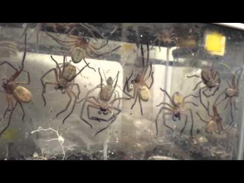 Giant Spiders' Communal and Cannibal Lifestyle