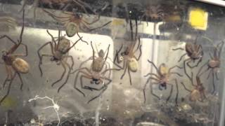 A Giant Spiders' Communal and Cannibal Lifestyle