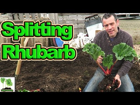 Splitting & Transplanting Rhubarb For A Great Harvest