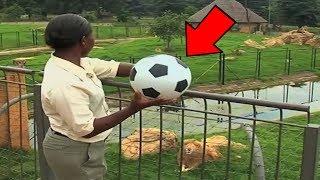 Fußball auf LÖWE geworfen, die Reaktion ist heftig!
