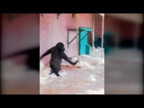 Watch This Dancing Gorilla Do a Pirouette Just Like a Ballerina