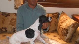 vid os pointer anglais chiens de race pointer anglais en vid o wamiz. Black Bedroom Furniture Sets. Home Design Ideas