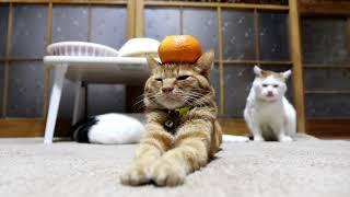 のせ猫 x みかん乗せ茶トラ Cat and orange 2018#2