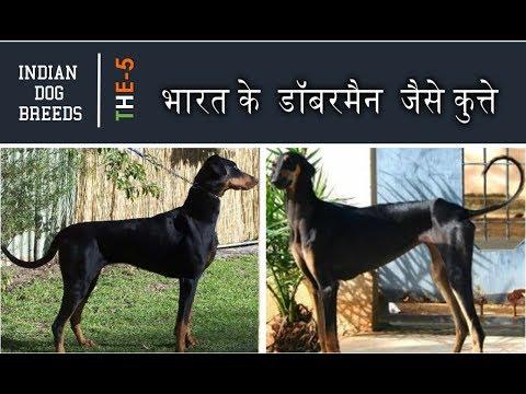 Indian Dogs like Doberman - in HINDI