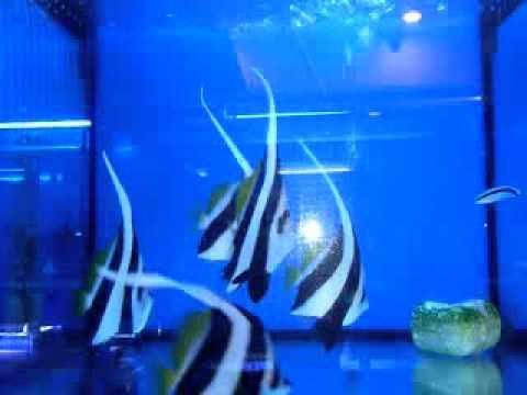 Longfin Bannerfish/Heniochus Black&White Butterflyfish (Heniochus acuminatus)