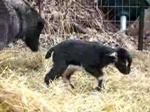 Baby cashmere goat - photo#19