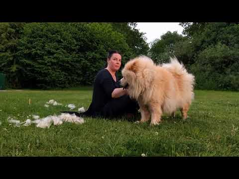 Chow Chow Being Groomed in the Park