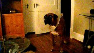 Foreman the boxer dog talking
