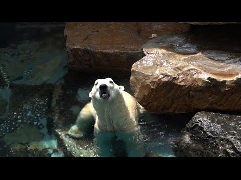Bear necessities: cooler home for S. Korea's last polar bear