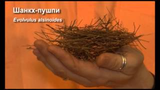 Аюрведа: Шанк-Пушпи - трава для памяти (Роберт Грислис) 36 урок