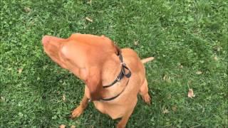 Nervous and Low Confidence Vizsla, Copper! Vizsla Dog Trainers in Virginia | Vizsla Dog Training