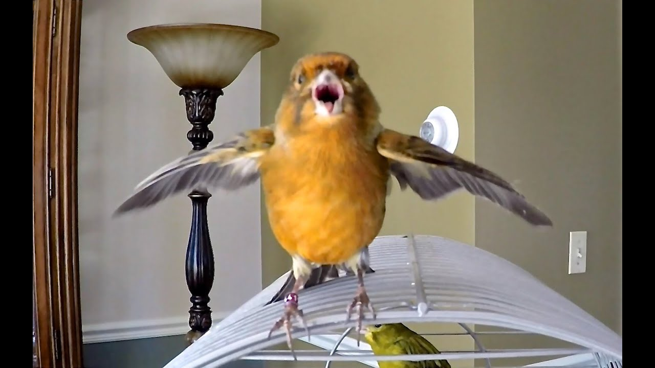 canary bird chirping singing being funny   youtube