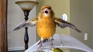 Canary Bird chirping singing being funny