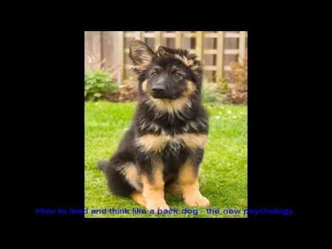 characteristics-of-a-german-shepherd-pet