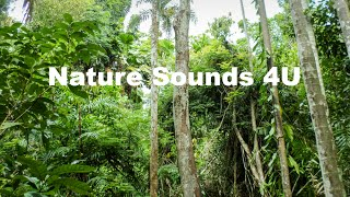 Nature Sounds - Australian Kookaburra And Forest Birds -relaxing-study-meditation-ambient-ASMR
