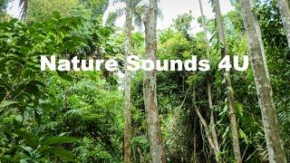 Nature Sounds - Kookaburra And Forest Birds, Australia -relaxing-study-meditation-ambient-ASMR