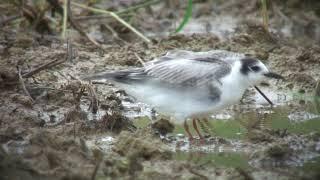 ハジロクロハラアジサシ(1)旅鳥(与那国町とモンゴル) - White-winged Black Tern - Wild Bird - 野鳥 動画図鑑