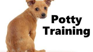 How To Potty Train A Portuguese Podengo Puppy - House Training Portuguese Podengo Puppies Fast