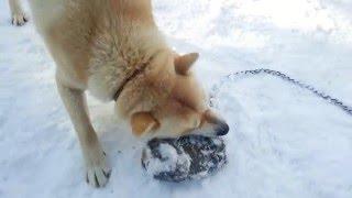 今日も牙狼は ヒグマの手で訓練です。 何やら喋っているようです。