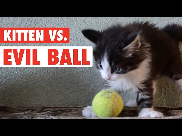 Kitten Vs. Evil Ball || Ball So Hard Kitty