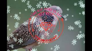 Tiếng cu gáy mồi cực hay, cực chuẩn, bẫy chim không cần mồi