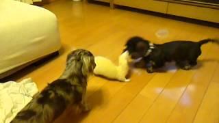 フェレットのコハクは我が家では一番小さいのですが犬と遊ぶのが大好き...