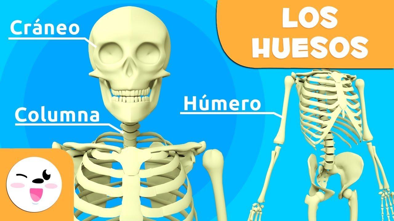 Los huesos para niños | El sistema óseo | El cuerpo humano para ...