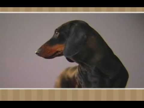 Meet the Breed - Dachshund