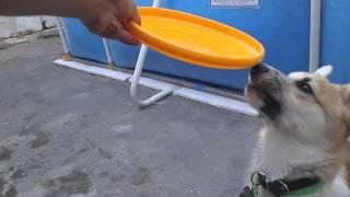Walas Pembroke Welsh Corgi Juega Con Su Frisbee