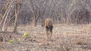 Lion charges tourists on walking safari tour in Kruger National Park