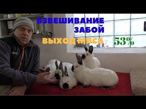 Выход мяса калифорнийского кролика в 90 дней