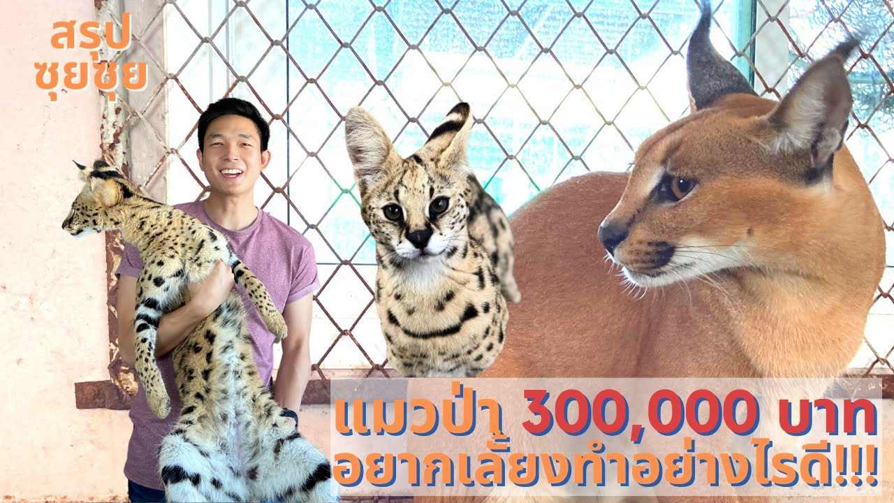 อยากเลี้ยงแมวป่าตัวละ 3 แสน!!! (caracal กับ serval)