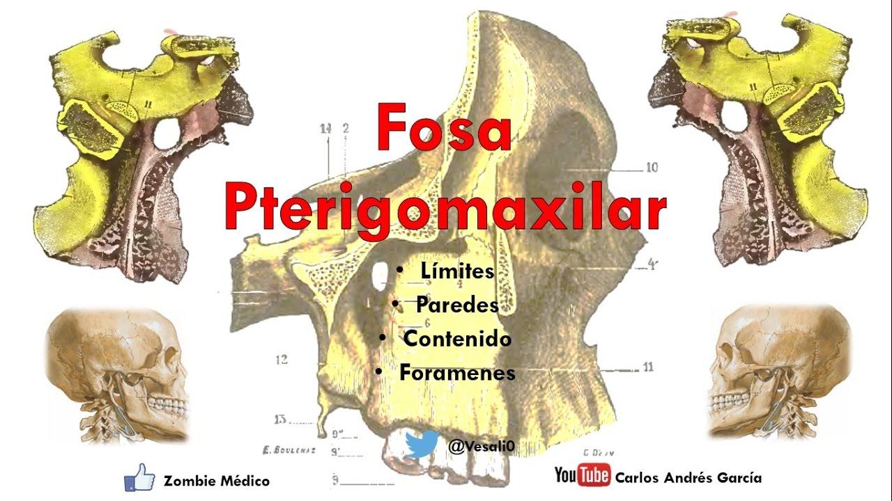 Anatomía - Fosa Pterigomaxilar (Límites, Paredes, Contenido ...