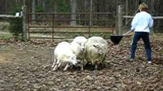 Phoebe The Australian Cattle Dog (red Mottled Heeler) Learning To Herd Sheep At 10 Months Old.
