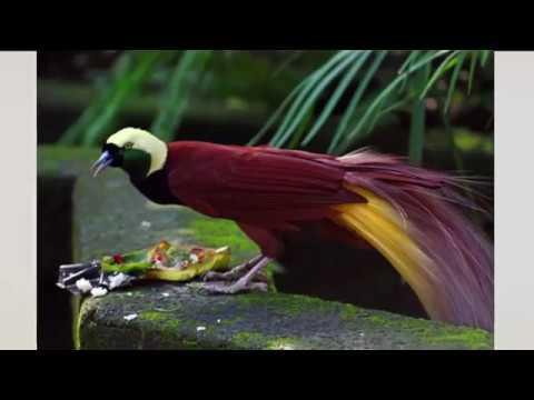 Raggiana Bird Of Paradise: National Bird of Papua New Guinea