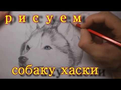 рисуем собаку хаски