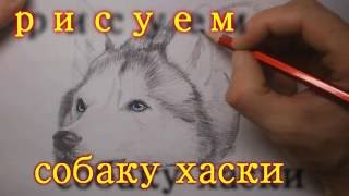 рисуем собаку хаски (draw a dog husky)