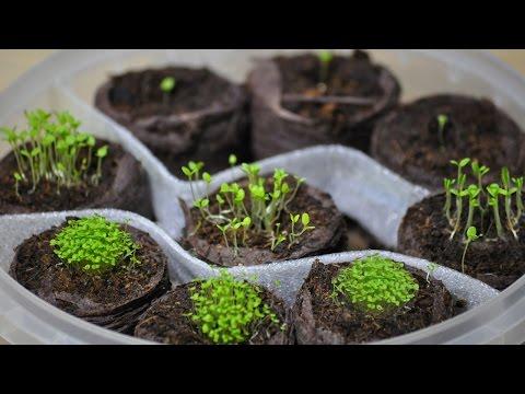 Посев петунии и лобелии(ч.1) ❀ петуния из семян ❀ торфяные таблетки ❀ как посеять петунию на рассаду