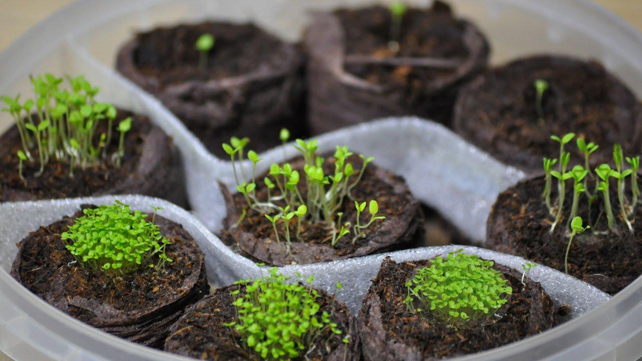 Посев петунии и лобелии(ч.1) петуния из семян торфяные ...