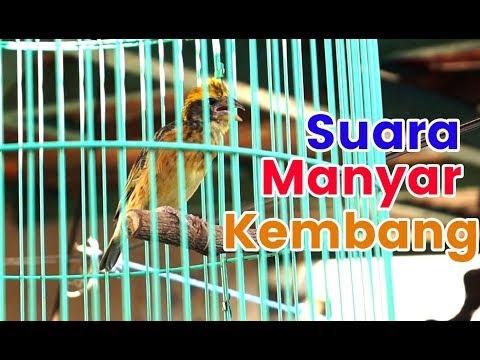MANYAR KEMBANG Suara Asli Hutan | Weaver Bird Singing