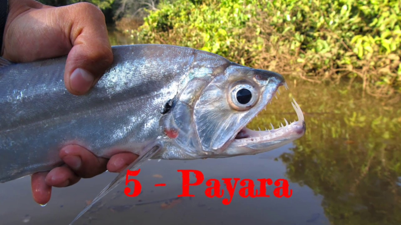 top 10 predatory fish for freshwater aquarium youtube