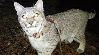 Night walk with Zya the bobcat.